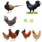 直销重庆市鸡苗批发市场 大量供应肉鸡苗 本地红瑶土鸡苗批发市场
